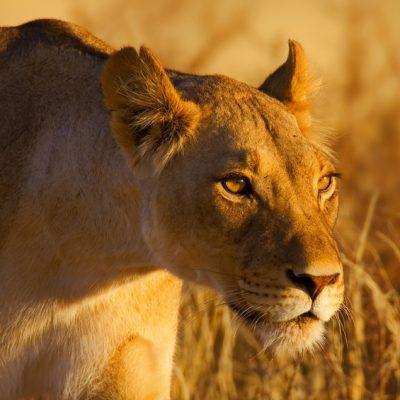Lion : female : panthera leo : South Africa : Kalahari dessert