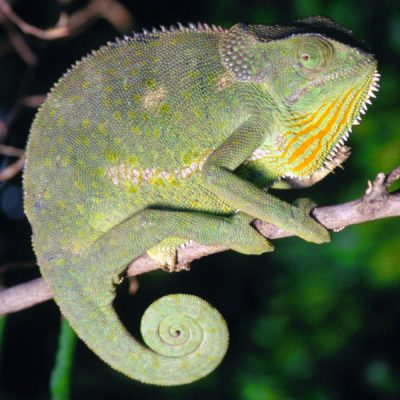 AFRICA - Flap-Necked Chameleon (Chamaeleo dilepis), poised on top of a tree branch in tropical Southern Africa. These species vary widely in color, from various greens, yellows and browns. Flaps on their neck usually lie flat, however when they feel threatened they can be raised and angled at 90 degrees to the head to ward off predators. (Photo Credit: Wild Thing Media/Content Mint)