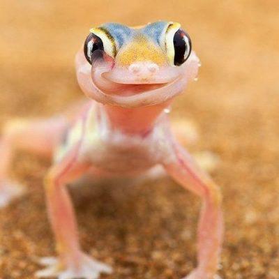 gecko licking his eyes