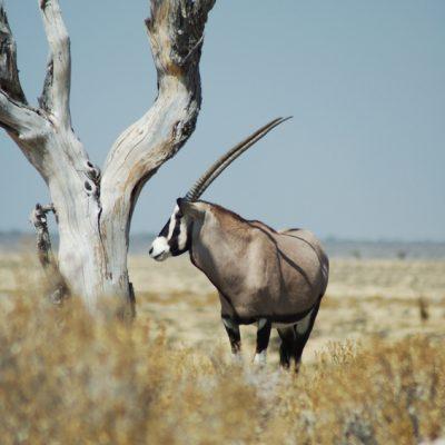 gemsbok antelope in Etosha, Namibie