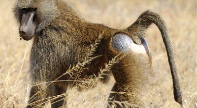 olive-baboon-ogimage