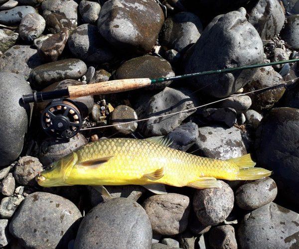 smallmouth_yellowfish
