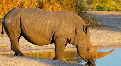 white-rhinoceros