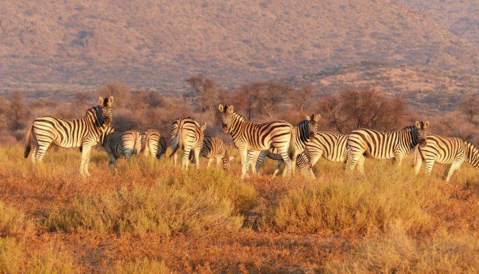 zebra-herd-savannah-namibia